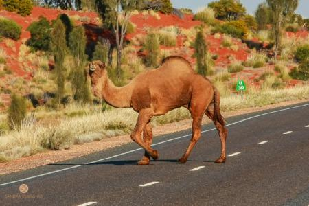 australia, australien, northern territory, camel
