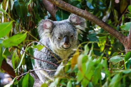 australia, australien, Queensland, Kuranda, Koalabär, koala