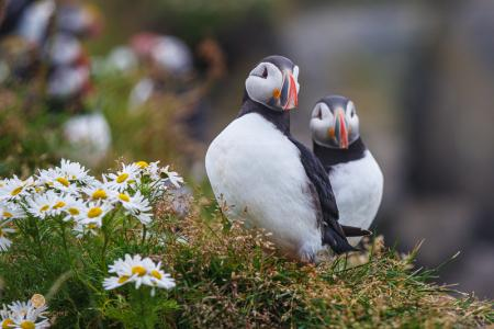 Papageitaucher, Puffin, Island